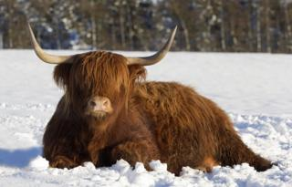 Highland cow in the snow.