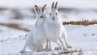 Mountain hares are Karen's favourite subject for her photography