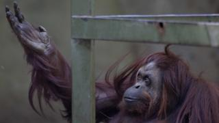 "Sandra the Orang-utan sits in her enclosure at Buenos Aires"" Zoo in Argentina"