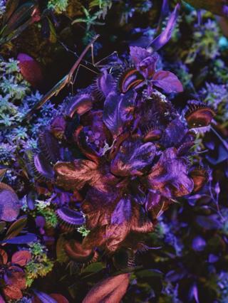 Dionaea muscipula with Mantodea
