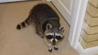 Raccoon in house