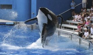 Tilikum en pleno espectáculo en SeaWorld, Orlando, Estados Unidos.