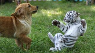 A golden retriever and white tiger play together
