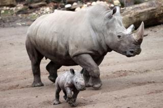 in_pictures A newborn white rhino named Willi walks next to its mother Shakina in the zoo in Dortmund, Germany