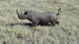 A wild male black rhino named Sambu is pictured after it was darted from a helicopter in Lewa conservancy on August 28, 2013.