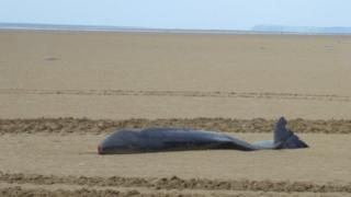 The 2.5m long adult male was found on Pendine Sands