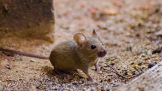 Bir tarla faresi - arşiv fotoğrafı