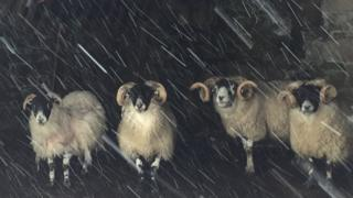 Scottish Blackface sheep in Corgarff, Moray.