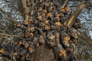 During an extreme heat-stress event a Grey-headed flying fox colony clumps together.