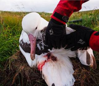 Injuries to an albatrosses after it was attacked by a mouse on the Island of Gough in the South Atlantic