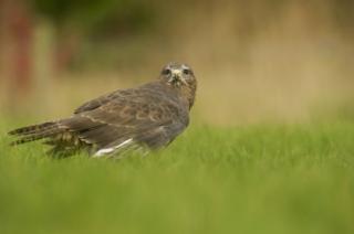 Buzzard standing in grass
