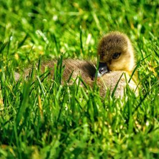 Baby chick lying in grass