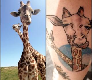 animals Giraffes Shafira and Acica