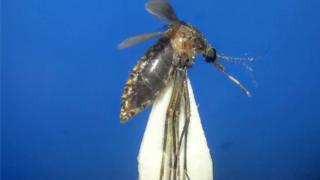 Cx.sp near infula mosquito