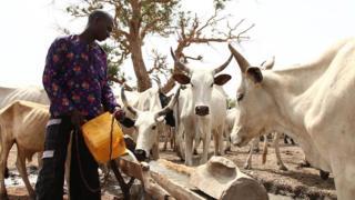 Cattle rearer wey dey feed im cows.