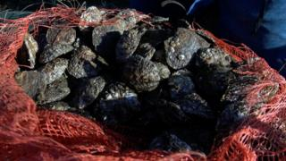 Oysters in a sack
