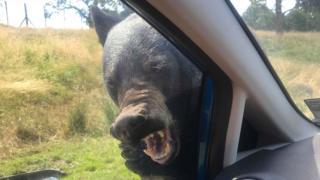 Bear on a car
