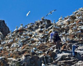 Ringing gannets on Les Etacs