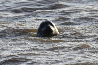 A seal in water