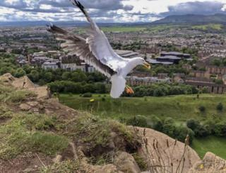 Seagull at Salisbury Crags in Edinburgh.