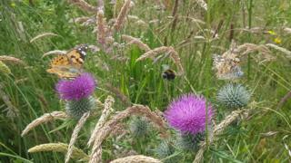 Two butterflies and a bee sharing some thistles in Luce Bay, Mull of Galloway.