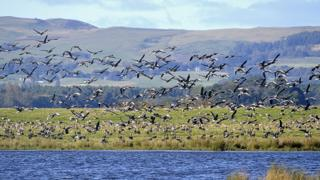 Pink footed geese at Loch Leven