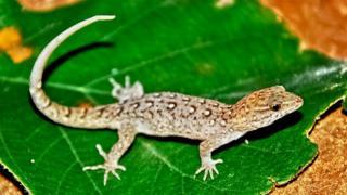 Especie de geco de Brasil, Gymnodactylus amarali
