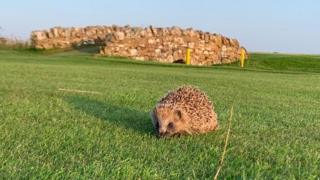 Hedgehog on the golf course