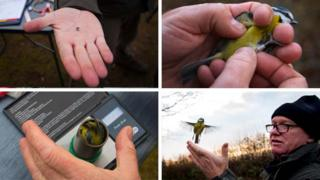 science Blue tit ringed and released