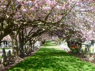 Trees in blossom in Balgay Cemetery, Dundee