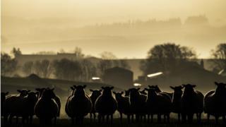 Sheep on a Scottish farm