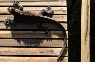 A marine iguana sunbathing in Isabela