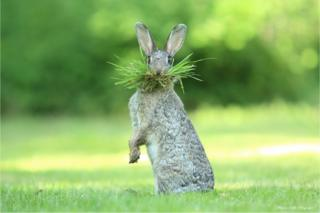 A hare with grass in its mouth