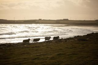 Sheep trotting along the shore in silhouette