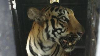 harimau, kala