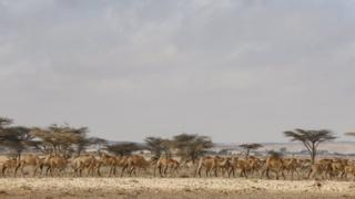 "A photograph made available on 27 March 2017 shows a herd of camels passing by an Internally Displaced Person (IDP) camp in the outskirts of Qardho in Somalia""s semi-autonomous region of Puntland, Somalia, 26 March 2017"
