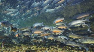Underwater image of arctic char, Greenland
