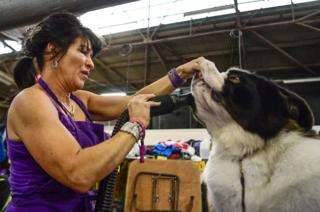Melody Salmi blow dries saliva out of the mouth of her St Bernard named Baby Arista during Breed Judging at the 143rd Westminster Kennel Club Dog Show in New York City.