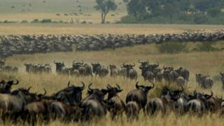 Thousands of wildebeest wind through the Masai Mara National Reserve in Kenya 03 August, 2002.
