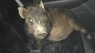 A man in the Ohio town of Elyria was not too keen on bringing home the bacon