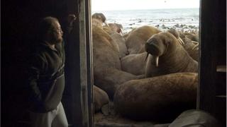 Russian scientists looks at a walrus.