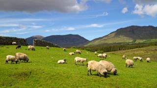 Человек разводит овец на протяжении тысячелетий