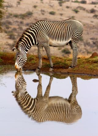 Zebra and its reflection in water