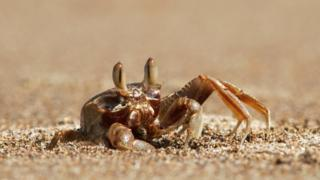 Ghost-crab-burying-itself-in-the-sand.