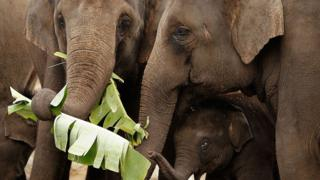 Technology Elephants eating leaves at Taronga Zoo