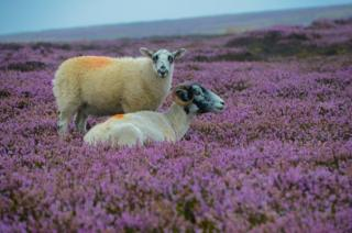 Two sheep in Heather