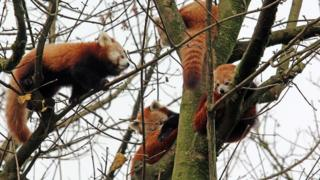 Family of four red pandas in the Belfast Zoo