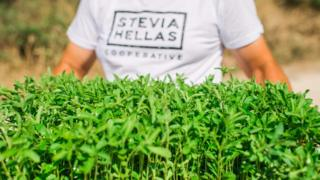 A man at Stevia Hellas Cooperative holding stevia seedlings