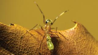 Araña del género Myrmarachne