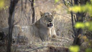 A lioness lays down in Zimbabwe's Hwange National Park (November 2012).